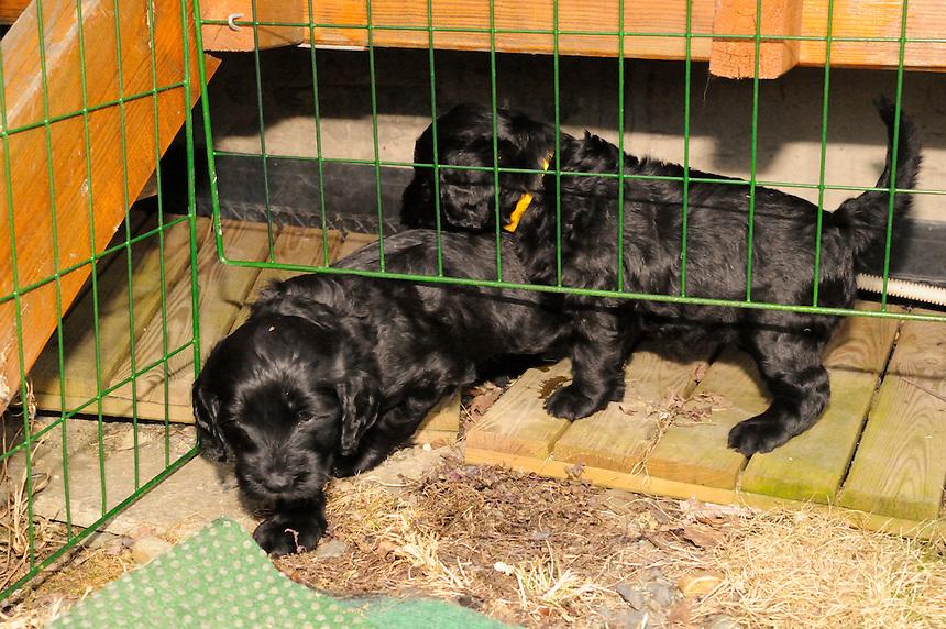Portugisisk vannhund, Portuguese waterdog