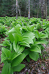 Skunk cabbage growing along the Ducktrap River in Spring, Lincolnville, Maine, USA