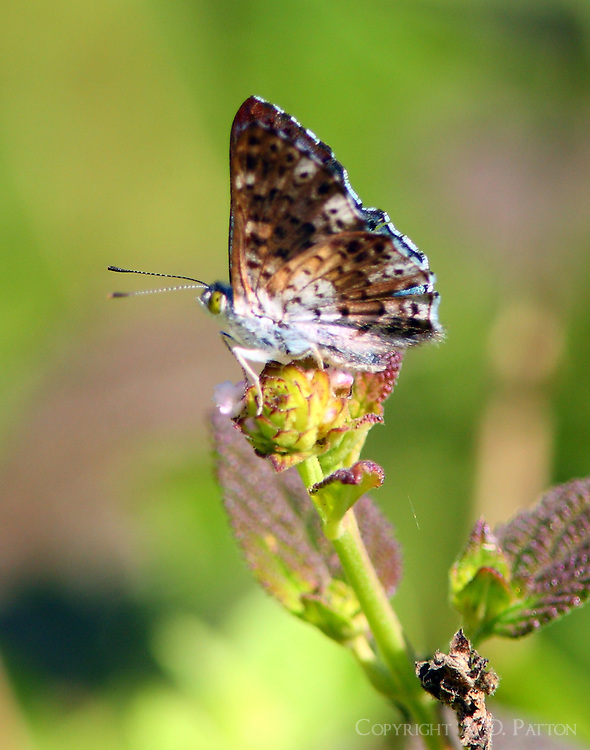 Male blue metalmark, wings closed