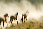 Wild horses run through the dust at Oregon's Jordan Valley Big Loop Rodeo, ..