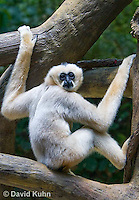 0305-1102  White-cheeked Gibbon, Nomascus sp.  © David Kuhn/Dwight Kuhn Photography