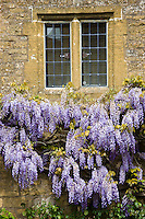 Flowering wysteria climbing shrub on old Cotswolds stone building in The Cotswolds, Worcestershire, UK