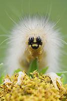 Tiger Moth, Arctiidae, Caterpillar on Golden Crownbeard (Verbesina encelioides), Willacy County, Rio Grande Valley, Texas, USA
