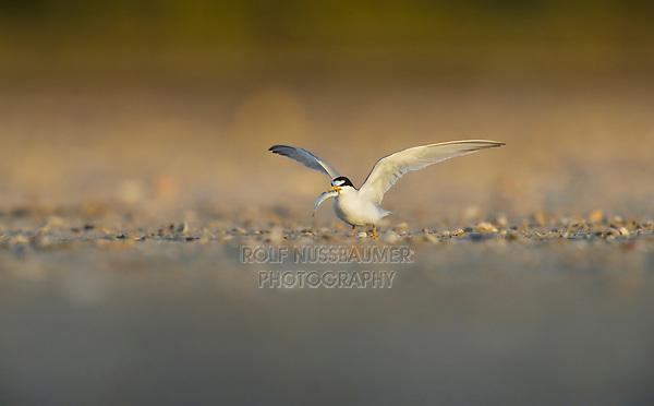 Least Tern (Sterna antillarum), adult with fish prey, South Padre Island, Texas, USA