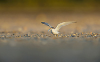 Least Tern (Sterna antillarum), adult with fish prey, South Padre Island, Texas, USA