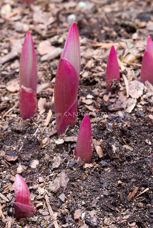 Emerging new young growth need id Polygonatum | Plant