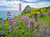 Lupine at Humbug Mountain State Park, Oregon