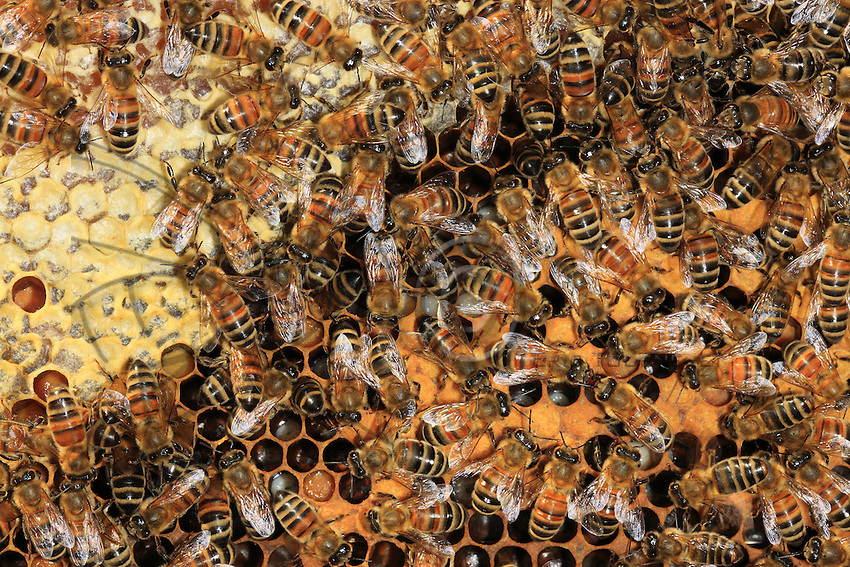 On a bee's wax frame, the bees in the brood cells (the place where eggs are laid and the larvae raised). You can clearly see the honey covered by wax.