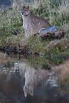Chile, Patagonia, puma (Puma concolor)