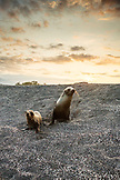 GALAPAGOS ISLANDS, ECUADOR, Galapagos Sea Lions playing on the beach of Fernandina Island