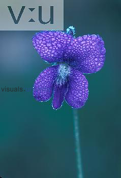 Violet flower laden with dew