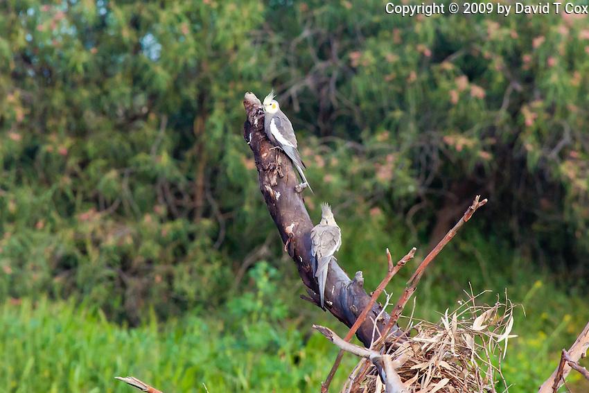 Cockatiel, Cobar Crv Pk, Cobar, NSW, Australia