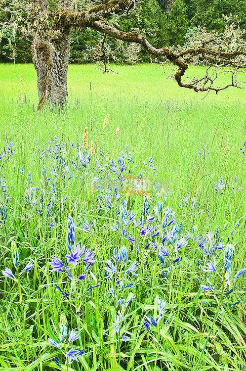 Great Camas flowers and Oregon oak at Mount Pisgah Arboretum, Lane County, Oregon.