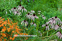 63821-19919 Butterfly Milkweed (Asclepias tuberosa) & Pale Purple Coneflowers (Echinacea pallida) in garden, Marion Co., IL