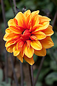 Dahlia 'David Howard', late July.