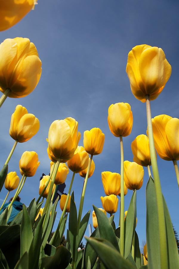 Field of yellow tulips from underneath, Skagit Valley, Washington, USA