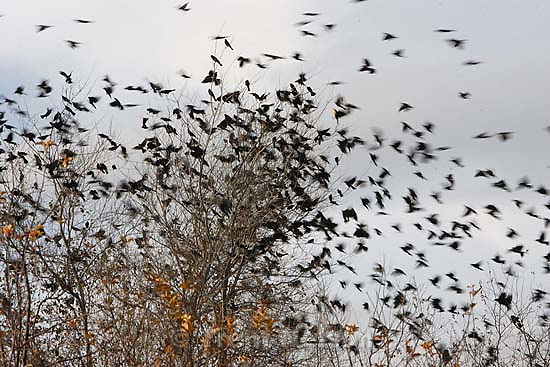 Layton - A flock of yellow-headed blackbirds takes flight from a barren tree Saturday at sunset along Gentile Street in Layton.