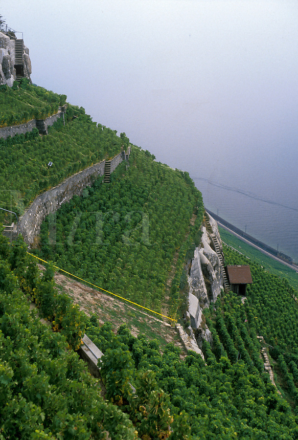 AJ1975, vineyard, Switzerland, Lavaux, Vaud, Europe, The steep mountainside of vineyards from La Corniche looks down to Lake Geneva (Lac Leman) in the Canton of Vaud.