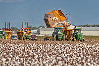 Cotton being dumped into a cotton module builder where it is compressed, much like a trash compactor works, for storage and transportation to the gin. Cotton is a primary crop in the Arkansas Delta.  Arkansas is racked 5th in the nation in cotton production.