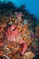 Barrel Sponge, Xestospongia testudinaria, Mutiny Point dive site, near Perai village, Wetar Island, near Alor, Indonesia, Banda Sea, Pacific Ocean