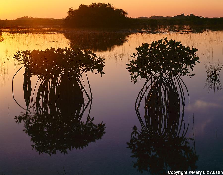Everglades National Park, FL: Red mangrove (Rhizophora mangle) silhouettes reflecting on a stillwater marsh at dawn