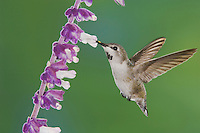 Costa's Hummingbird, Calypte costae, young male in flight feeding on Mexican Bush Sage(Salvia leucantha),Tucson, Arizona, USA