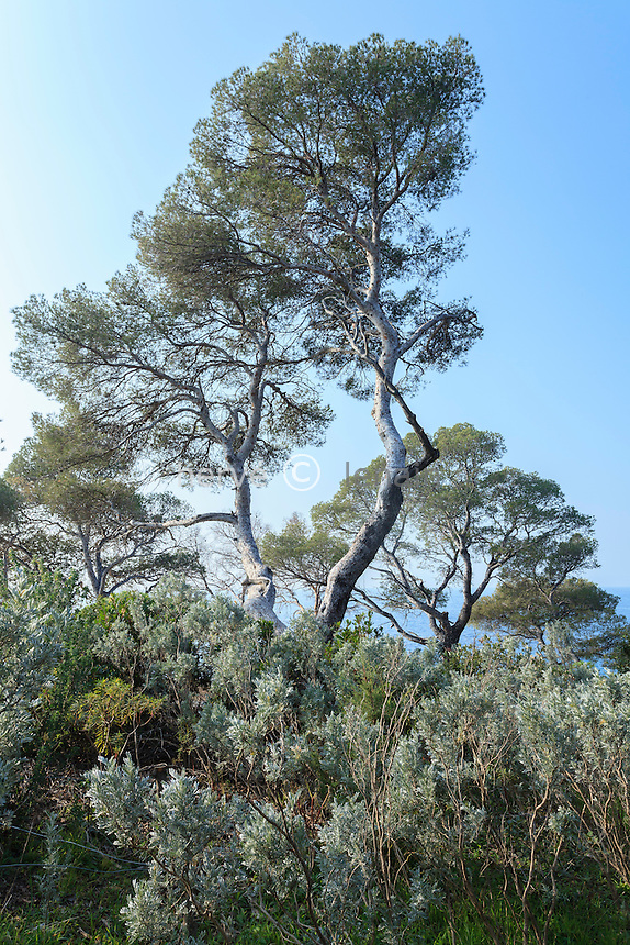 Le domaine du Rayol en f&eacute;vrier : &agrave; la pointe du Figuier, pin d'Alep ( Pinus halepensis ) au tronc gris  argent&eacute;. <br /> <br /> (mention obligatoire du nom du jardin &amp; pas d'usage publicitaire sans autorisation pr&eacute;alable)