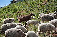 Goat running with milk sheep, Chandebrito, Vigo, Galicia, Spain. The goat protects the sheep by eating plants not poisonous to them but poisonous to sheep......Copyright..John Eveson,.Dinkling Green Farm,.Whitewell,.Clitheroe,.Lancashire..BB7 3BN.Tel. 01995 61280.Mobile 07973 482705.j.r.eveson@btinternet.com.www.johneveson.com