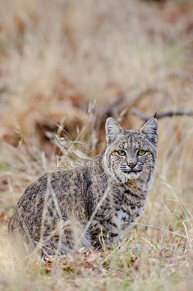 Wild Bobcat (Lynx rufus).  California.  Late Winter.  (Completely wild non-captive cat.)