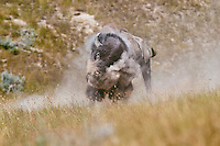 American bison (Bison bison) bull shaking off dust after wallowing during summer mating season.  While all bison use dust baths to control irritating insects (biting flies, ticks, etc), bulls wallow in dust/dirt during the summer mating season to increase their sex appeal.