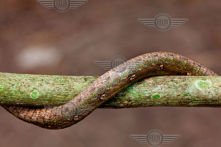 A forest vine snake (twig snake) wrapped around a branch.