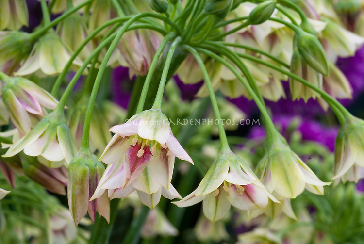 Nectaroscordum siculum, commonly known as Mediterranean Bells or Sicilian honey lily, Sicilian honey garlic, aka Allium siculum. European and Turkish species. Makes a great cut flower. Summer flowering bulb, perennial zones 4-8