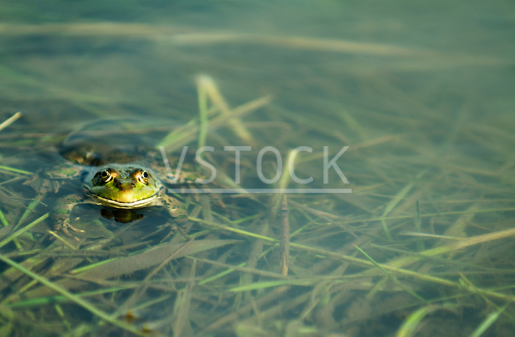 Vladimir Godnik horizontal frog pond outside outdoor lake creek swamp swampland water animal wildlife nature amphibian habitat environment toad