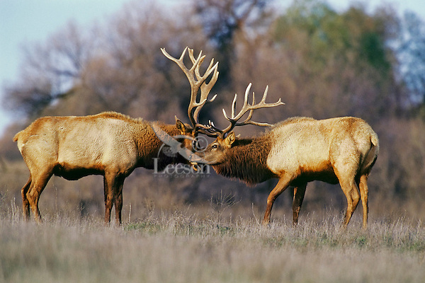 Tule elk bulls (Cervus elephus nannodes) sparring, San Luis NWR, CA.