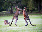 A pair of kangaroos appear to break out in dance as they waltz together in a stunning setting.  The animals look to be caught in an embrace in a scene you'd expect to see in Strictly Come Dancing.<br /> <br /> Even though they were joyfully play fighting, the animals might impress the show's judges with their nimble footwork and extravagant neck extensions.  The Eastern grey kangaroo's were pictured together in the town of Morisset, on the banks of Lake Macquarie in New South Wales, Australia.  SEE OUR COPY FOR DETAILS.<br /> <br /> Please byline: Lindley Hill/Solent News<br /> <br /> &copy; Lindley Hill/Solent News &amp; Photo Agency<br /> UK +44 (0) 2380 458800