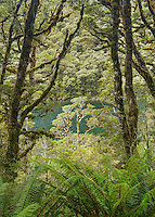 Views through native forest on Lake Howden on Greenstone Track, Fiordland National Park, Southland, South Island, UNESCO World Heritage Area, New Zealand, NZ