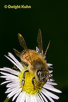 1B01-513z  Honeybee about to fly from flower, 4 wings spreading for flight, Apis mellifera