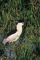 548008506 a wild male black-crowned night heron nicticorax nicticorax in breeding plumage perches in a tree perch in santa barbara county california united states
