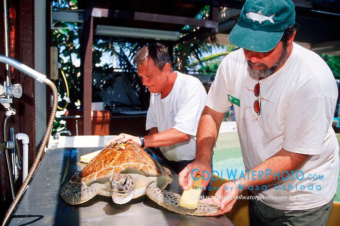 volunteers rub algae off from .green sea turtle, Chelonia mydas, .Marine Center of Juno Beach, Florida