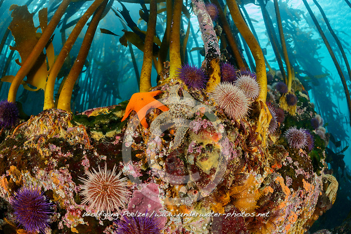 Ecklonia maxima, Tang oder Kelpwald mit Seeigel, Kelp or Kelpforest with Sea urchin and Sea star, False Bay, Simons Town, Suedafrika, Indischer Ocean, False bay, Simons Town, South Africa, Indian Ocean