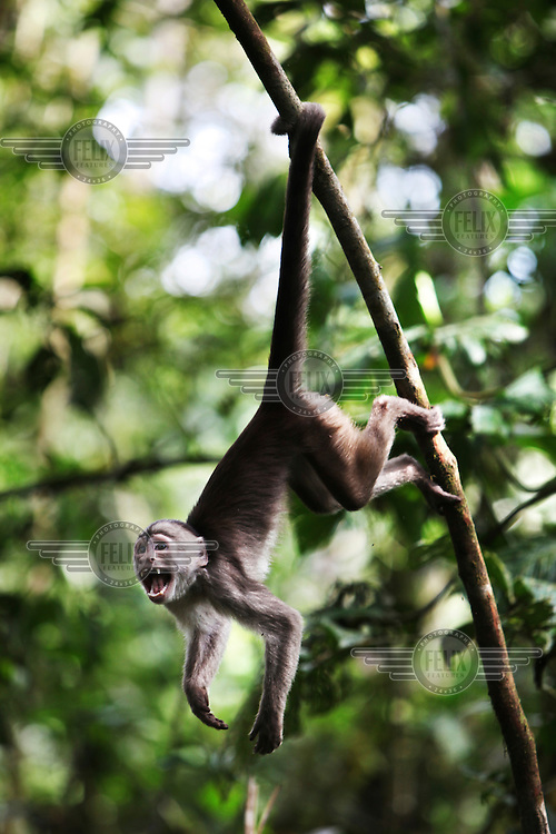 A monkey hangs from a tree in a monkey reserve near Puyo in the Oriente Amazon region. Most of these monkeys were saved from living as pets with families. They now live in a protected forest.