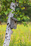 Bluebird house on a birch tree in northern Wisconsin.