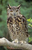 Kap-Uhu, Kapuhu, Uhu, Bubo capensis, Cape Eagle-Owl