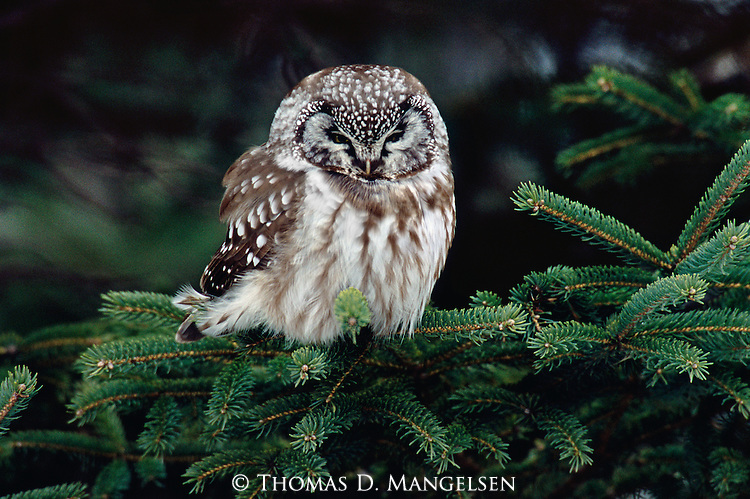 "A rarity in Northern Minnesota, a little boreal owl takes respite among the branches of a white spruce during an influx of owls, referred to as an ""irruption"", during the winter of 2005."