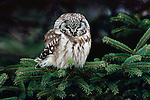 """A rarity in Northern Minnesota, a little boreal owl takes respite among the branches of a white spruce during an influx of owls, referred to as an """"irruption"""", during the winter of 2005."""