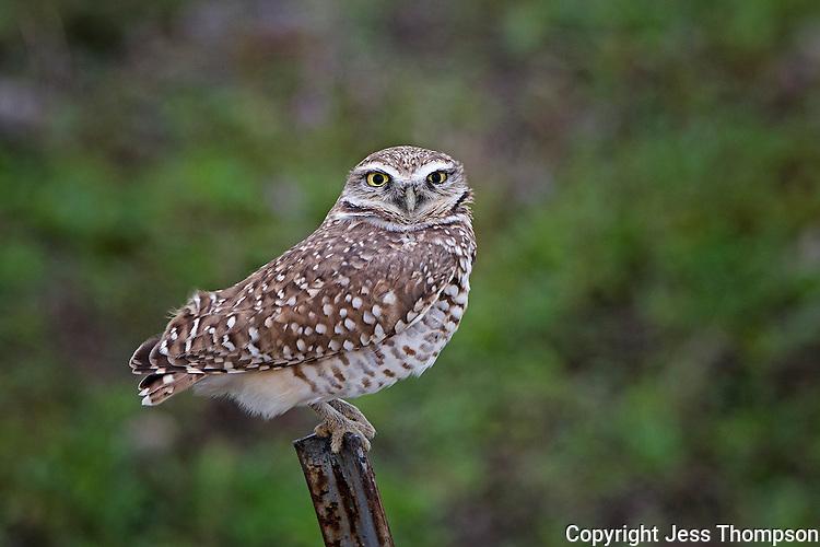 Burrowing Owl, Texas