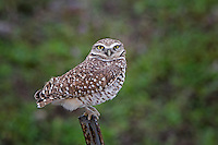 Burrowing Owl, Texas
