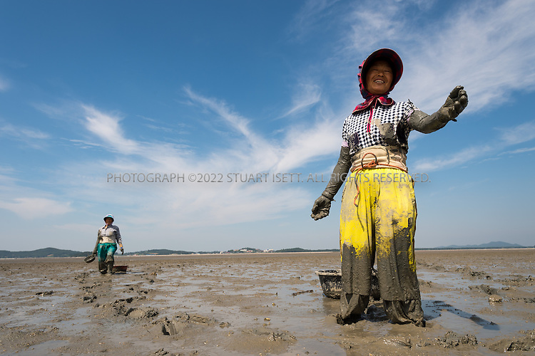 9/8/13--Jeonnam Province (Jeollanam-do), South Korea<br /> <br /> Clam farmers dig for clams in the mud flats of Hwado Island.<br /> <br /> Photograph by Stuart Isett<br /> &copy;2013 Stuart Isett. All rights reserved.