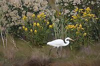 Great Egret; Ardea alba; at edge of marsh; NJ, Forsythe NWR