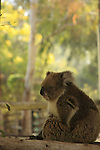 Israel, Harod valley. Koala in Gan Garoo